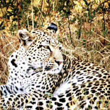 Claire Mather's Leopard. undefined