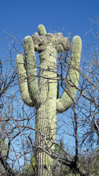Rare Crested Saguaro along the trail
