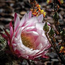 Kathryn Watson: Desert Flowers