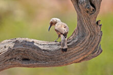 Roger Cowles: Curved Bill Thrasher