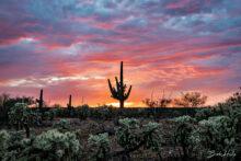 Bob Hills: Lonely Saguaro Sunset