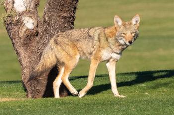 Coyote (Photo by Jim Hoagland)
