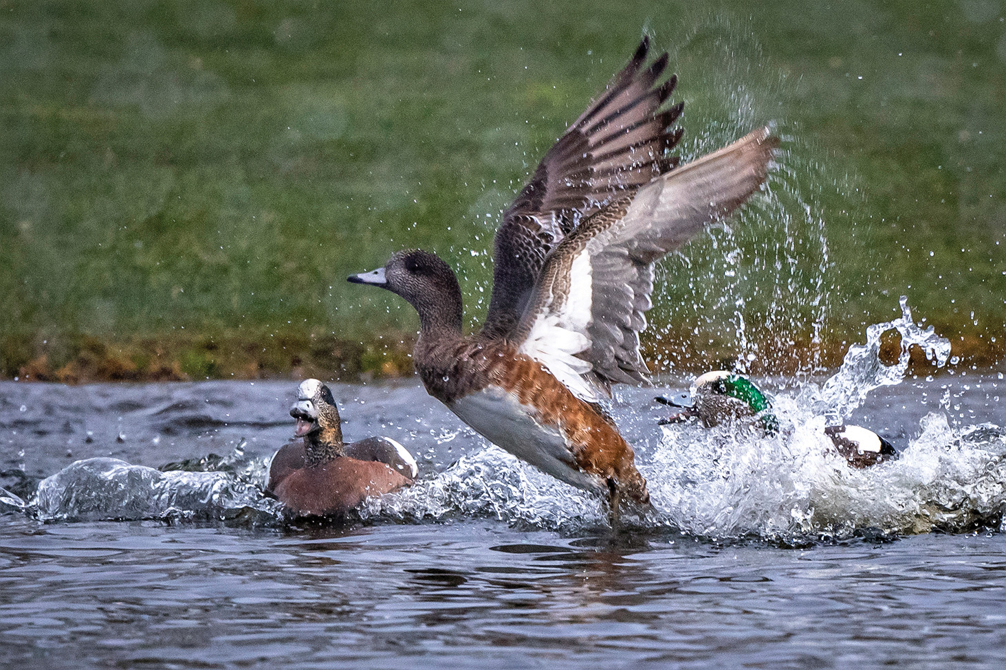 American Wigeons (Photo by Jim Hoagland)