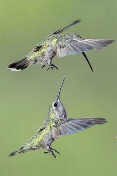 Hummingbirds (Photo by Jim Hoagland)