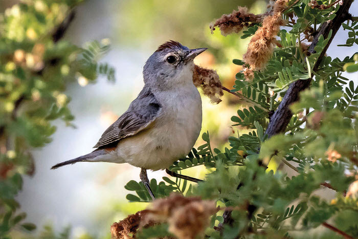 Lucy's Warbler (Photo by Jim Hoagland)